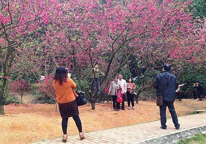 CNY-PeachBlossom